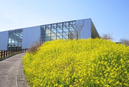 171001菜の花