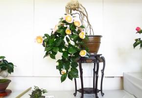 180111肥後ツバキ盆栽展示会