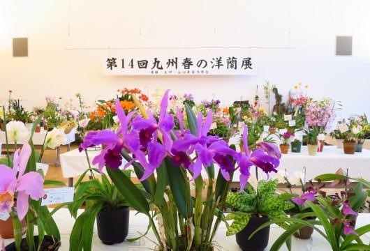 180330九州春の洋蘭展3 (2)