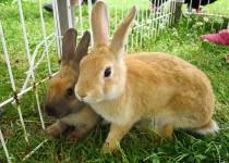 180607ウサギ
